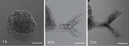 Wegweiser für Zellen: Zucht komplexer dreidimensionaler Mikrogewebe