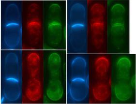 Descubiertas similitudes entre la matriz extracelular animal y la pared celular de los hongos
