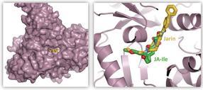 Forscher blockieren Pflanzenhormon