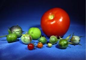 New sequencing reveals genetic history of tomatoes