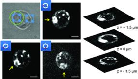 Trapping and watching motile cells