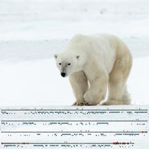Y-Chromosom des Eisbären erstmals entschlüsselt