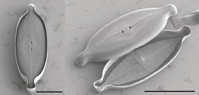 Kieselalge Caloneis amphisbaena
