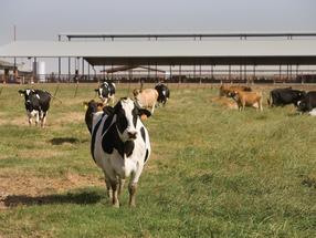 Estrogen, antibiotics persisted in dairy farm waste after advanced treatment