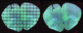 Clear view on stem cell development