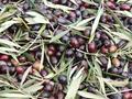 El primer genoma de referencia del olivo silvestre, un avance en su conocimiento evolutivo